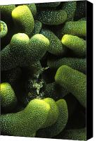 Kangaroo Canvas Prints - Green Anemone Column Aggregation Canvas Print by James Forte