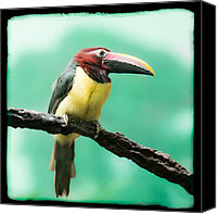 Exotic Bird Canvas Prints - Green Aracari Toucan Canvas Print by Gary Heller