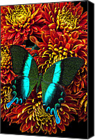 Chrysanthemums  Canvas Prints - Green blue butterfly Canvas Print by Garry Gay