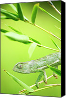 Chameleon Canvas Prints - Green Chameleon In Mozambique Canvas Print by Alex Bramwell