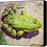 Nature Canvas Prints - Green frog sitting on stone Canvas Print by Matthias Hauser