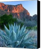Desert Canvas Prints - Green Gulch Agave Canvas Print by Eric Foltz