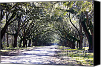 Live Oaks Canvas Prints - Green Lane Canvas Print by Carol Groenen