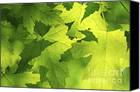 Green Leaves Canvas Prints - Green maple leaves Canvas Print by Elena Elisseeva