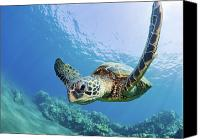 Sea Aquatic Canvas Prints - Green Sea Turtle - Maui Canvas Print by Monica and Michael Sweet - Printscapes