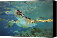 Turtle Canvas Prints - Green Sea Turtle Chelonia Mydas Canvas Print by Tim Fitzharris