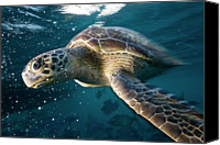 Turtle Canvas Prints - Green Sea Turtle Canvas Print by Kaido Haagen