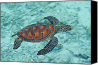 Sea Animals Canvas Prints - Green Sea Turtle Canvas Print by Mako photo