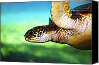 Turtle Canvas Prints - Green Sea Turtle Canvas Print by Marilyn Hunt