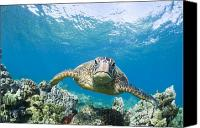 Swim Canvas Prints - Green Sea Turtle over Reef Canvas Print by Monica & Michael Sweet - Printscapes