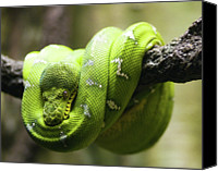 Natural Pattern Photo Canvas Prints - Green Tree Python Canvas Print by Andy Wanderlust