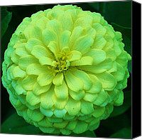 Zinna Canvas Prints - Green with Envy 1 Canvas Print by Bruce Bley