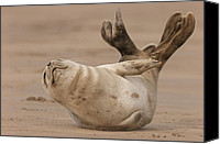 Raf Canvas Prints - Grey Seal Pup Canvas Print by Andy Astbury