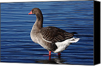Gans Canvas Prints - Greylag Goose 356 Canvas Print by Charley Starnes