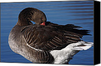 Gans Canvas Prints - Greylag Goose 364 Canvas Print by Charley Starnes