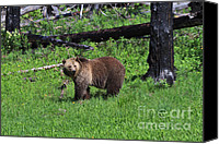 Regeneration Photo Canvas Prints - Grizzly Bear Canvas Print by Louise Heusinkveld