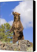 Predatory Canvas Prints - Grizzly Bear Standing On A Ridge Canvas Print by John Pitcher