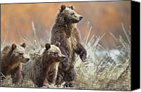 Grand Teton Canvas Prints - Grizzly Cubs Canvas Print by Rob Daugherty - RobsWildlife.com