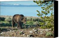 North American Wildlife Canvas Prints - Grizzly Sow at Yellowstone Lake Canvas Print by Sandra Bronstein