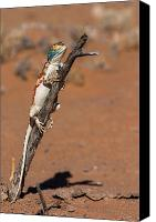 Wildlife Canvas Prints - Ground Agama Canvas Print by Hein Welman