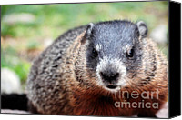 Groundhog Canvas Prints - Groundhog Canvas Print by Charline Xia