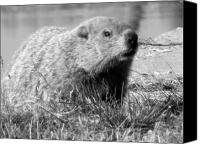 Groundhog Canvas Prints - Groundhog Canvas Print by Erika Kennedy