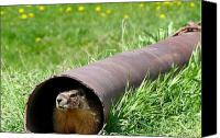 Groundhog Canvas Prints - Groundhog In A Pipe Canvas Print by Will Borden