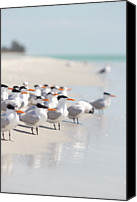 Animals In The Wild Canvas Prints - Group Of Terns On Sandy Beach Canvas Print by Angela Auclair