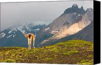 Alpine Canvas Prints - Guanaco - Patagonia Canvas Print by Carl Amoth