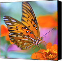 Insect Photography Canvas Prints - Gulf Fliterary Butterfly Canvas Print by Joel Olives Photography