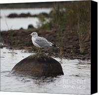 Gull Photo Canvas Prints - Gull on a Rock Canvas Print by Marjorie Imbeau