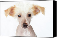 Animal Head Shot Canvas Prints - Hairless Chinese Crested Puppy Canvas Print by Amy Lane Photography