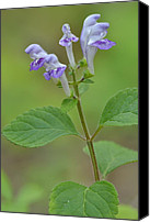 Skullcap Canvas Prints - Hairy Skullcap Canvas Print by JD Grimes