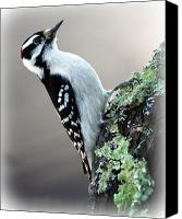 Animal Canvas Prints - Hairy Woodpecker Canvas Print by Bob Orsillo
