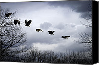 Feathers Canvas Prints - Half second of flight Canvas Print by Bob Orsillo