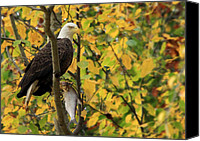 Bald Eagle Canvas Prints - Hang Around for Dinner Canvas Print by Lori Deiter