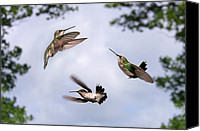 Ruby Throated Canvas Prints - Happy Hummer Confluence Canvas Print by Bill Pevlor