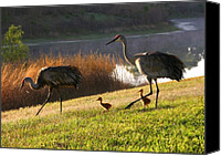 Sandhill Crane Canvas Prints - Happy Sandhill Crane Family Canvas Print by Carol Groenen