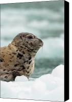 Ice Age Canvas Prints - Harbor Seal Phoca Vitulina Pup On Ice Canvas Print by Ralph Lee Hopkins