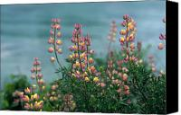Lupines Canvas Prints - Harlequins in Harmony Canvas Print by Kathy Yates