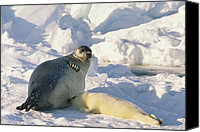 Suckling Canvas Prints - Harp Seal Phoca Groenlandicus Mother Canvas Print by Gerry Ellis