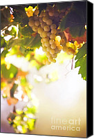 Sunny Vineyard Photo Canvas Prints - Harvest Time. Sunny grapes I Canvas Print by Jenny Rainbow