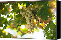 Sunny Vineyard Photo Canvas Prints - Harvest Time. Sunny Grapes IV Canvas Print by Jenny Rainbow