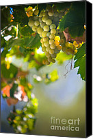 Sunny Vineyard Photo Canvas Prints - Harvest Time. Sunny Grapes V Canvas Print by Jenny Rainbow