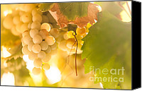 Sunny Vineyard Photo Canvas Prints - Harvest Time. Sunny Grapes VI Canvas Print by Jenny Rainbow