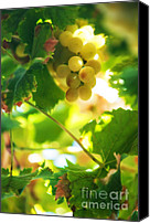 Sunny Vineyard Photo Canvas Prints - Harvest Time. Sunny Grapes VII Canvas Print by Jenny Rainbow
