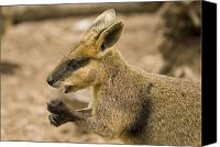 Wallaby Canvas Prints - Having a Snack Canvas Print by Mike  Dawson