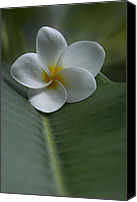 Sharon Mau Canvas Prints - He Aloha no O Waianapanapa - White Tropical Plumeria - Hawaii Canvas Print by Sharon Mau