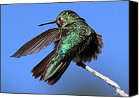 Humming Bird Canvas Prints - He Went That Way Canvas Print by Dana Bechler