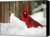 Cardinals. Wildlife. Nature. Photography Canvas Prints - Head On Cardinal Canvas Print by Jennifer Wosmansky